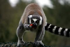 Lemur (@Doug88888) Tags: world pictures uk red wallpaper england wool nature animal canon eos monkey photo eyes image eating united tail creative picture gimp kingdom commons images lemur dorset buy ape dslr friday madagascar purchase monkeyworld stripy happyfurryfriday 400d doug88888