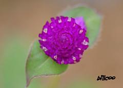 Flower (billcoo) Tags: flower macro gardens closeup sanantonio garden geotagged botanical bokeh map sony micro tamron 90mm a700 billcoo