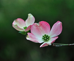 dogwood blossoms (Wils 888) Tags: park county flowers usa flower macro tree newjersey nikon blossom bokeh blossoms nj explore bergen dogwood paramus gardenstate excellence d90 interetingness vansaun nikond90