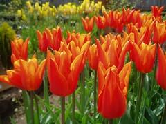 Tulipa 'Ballerina'
