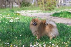 Pepe compie tre anni (Piero Gentili) Tags: cute cane puppy puppies sweet dolce spike pepe fiori prato spitz marrone cucciolo margherite cagnolino gentili volpino cucciolodicane piero20051 pierogentili gentilipiero pierpaologentili