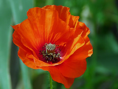 Poppy 2 (presbi) Tags: flowers platinumheartaward auniverseofflowers awesomeblossoms vosplusbellesphotos flickr