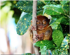 The Philippine Tarsier (Tarsius syrichta) (JoLiz) Tags: tree leaves interestingness tour philippines explore bohol pk primate sanctuary tarsier philippine top500 tarsius explored pinoykodakero flickristasindios syrichta joliz garbongbisaya garbongbisayainternationalphotographersclub