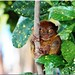 The Philippine Tarsier (Tarsius syrichta)