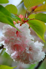 Lakeview's 'Cherry Blossoms'! (p.csizmadia) Tags: pink ohio color detail nature beauty cherry spring flora natural blossom oh delicate lakeviewpark lorain csizmadia ornamentalcherryblossom pcsizmadia