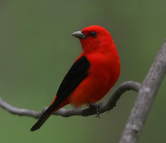 Scarlet Tanager (Hard-Rain) Tags: red black bird nature illinois searchthebest wildlife aves palos scarlettanager cookcounty piranga passeriformes pirangaolivacea thraupidae explore252 mcclaughrysprings
