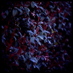The dark red of spring (gullevek) Tags: red plants 6x6 mamiya film japan geotagged iso100 tokyo leaf kodak bokeh   bushes   mamiya6mf kodakektachromeepn100 mamiya150mmf45 geo:lat=3556156 geo:lon=139688409