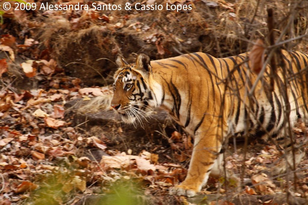 Chorbhera Tigress _MG_0744_F