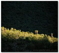 Spot-Lit (Panorama Paul) Tags: sunrise paradise soe novideo littlekaroo nohdr shieldofexcellence nikfilters vertorama nikond300 wwwpaulbruinscoza paulbruinsphotography