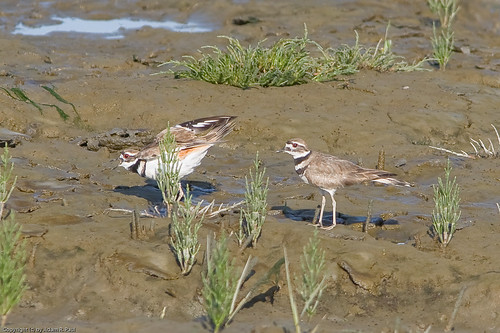 Killdeer by you.