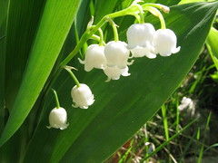 Lily of the Valley (Leo-set) Tags: summer white flower finland europe lily valley   lempl   kulju lempaala