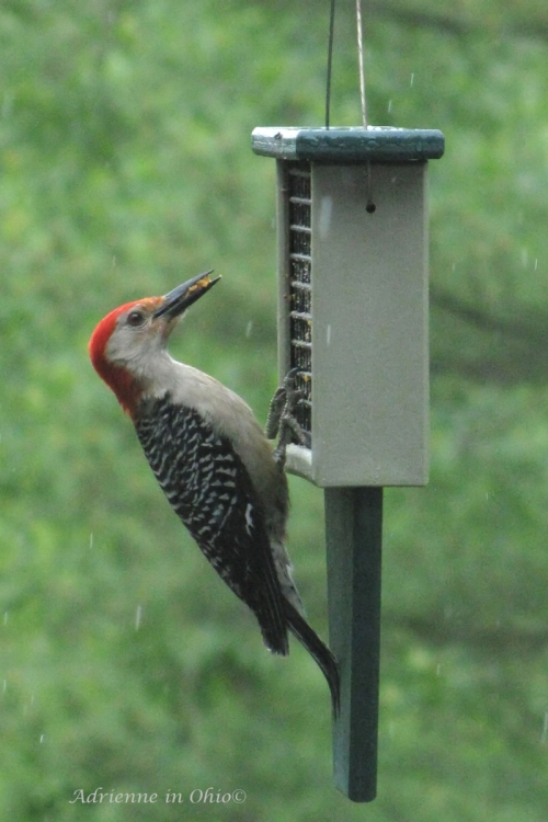 red-bellied woodpecker3
