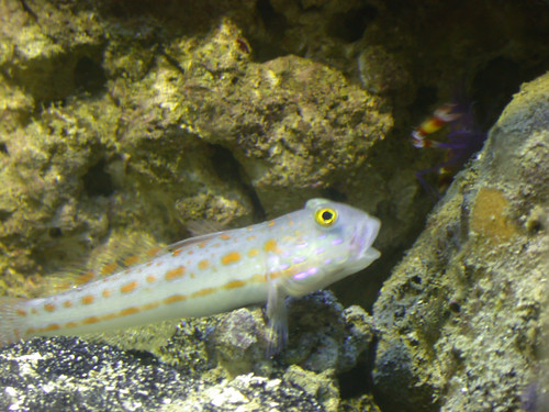 diamond watchman goby. It was neat to see the Diamond