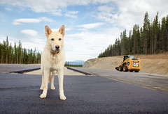 dog and cat (eyebex) Tags: road new dog k animal cat cool construction pavement deleted10 equipment domestic yukon bobcat asphalt 74 blairwitch whitehorse saved6 kolya cool7 uncool4 iceboxcool hamiltonboulevard