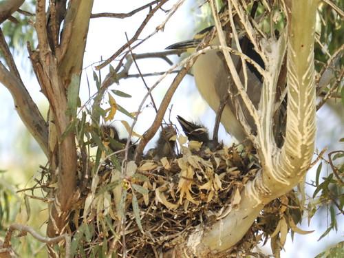 Black-crowned Night Heron chicks