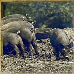 This little piggy had none (alan shapiro photography) Tags: feeding textures pigs hungry gluttony ashapiro515 2010alanshapiro alanshapirophotography wwwalanwshapiroblogspotcom 2010alanshapirophotography