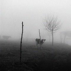 today in my island #2009 020 (filipe franco) Tags: tree fog cow nebel nebbia fotoblog niebla azores aores dimma nevoeiro barrosa  somiguel azoren bezerro ilhadesomiguel azory reservaobserver kubrickslook archipelagooftheazores 20090122janeiro