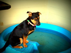 That look..... (basschick89) Tags: dog pool roxy