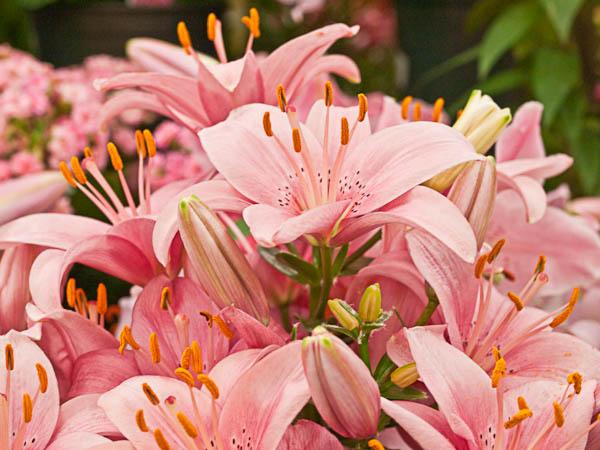 Pink Lilies at Garden Center