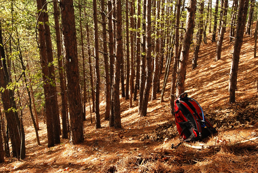 A steep hillside in a pine forest.