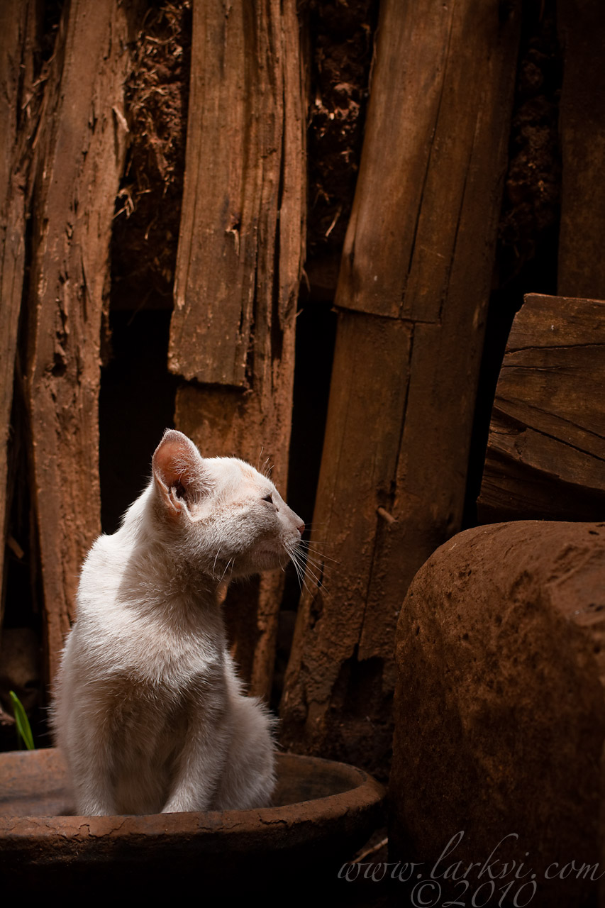 Cat #2, Zege Peninsula, Lake Tana, Ethiopia, 2009