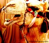 نــآڦـتـے يآ نــآڦـتـے (MemoOosh ~ back..) Tags: camel riyadh picnik ركن جمل ناقة الجنادرية القصيم جنادرية janadrya