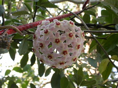 Hoya carnosa (dhobern) Tags: january australia apocynaceae 2009 act hoyacarnosa hoya aranda cultivated carnosa taxonomy:family=apocynaceae geo:country=australia taxonomy:genus=hoya taxonomy:binomial=hoyacarnosa