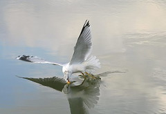 Ring-billed Gull 16 (TexasEagle) Tags: texas gulls lakegrapevine ringbilledgull larusdelawarensis pfogold pfosilver