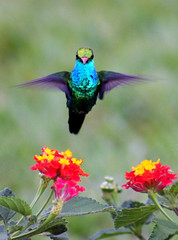 Beija-flor - Hummingbird (claudio.marcio2) Tags: bird hummingbird pssaro class beijaflor soe breathtaking visualart birdwatcher colibri potofgold wonderfulnature blueribbonwinner justonelook birdsbirdsbirds a flickrnature fineartphotos wingedwonders mywinners abigfave godnature worldbest shieldofexcellence anawesomeshot impressedbeauty aplusphoto agradephoto nationalgeographicareyougoodenough crystalaward diamondclassphotographer citritgroup ysplix prettynaturephotos naturewatcher colourartaward goldsealofquality theworldsbestnaturewildlifeandmacrophotography hummingbirdphotography natureislovely dragongoldaward atravsdaminhalentethroughmylens stunningplanetearth feathersbeaksbirds worldnaturewildlifecloseup planetaterraeseusanimaisincrveis vosplusbellesphotos thewonderfulworldofbirds naturegreenstar naturescreations animaisaoextremo superbestshotsonflickr