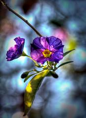 Closer to god - HDRi Flower, Purple, Bokeh (FLASHFLOOD) Tags: sanfrancisco california flowers trees sky flower macro tree leaves garden japanesegarden leaf purple bokeh 100 hdr purpleflower hdri
