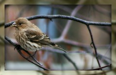 Female House Finch (mightyquinninwky) Tags: tree bird female rural geotagged countryside wings backyard dof bokeh kentucky framed branches country beak feathers farmland depthoffield finch ave mirrored perched limbs commonwealth housefinch picnik smalltown rivervalley flatlands westernkentucky carpodacusmexicanus postprocessing nativebird riverbirch femalebird unioncountykentucky ohiorivervalley nativefauna nativeflora edgeoftown housefinchcarpodacusmexicanus femalehousefinch avianphotography ruralkentucky morganfieldkentucky geo:lat=37693168 thebluegrassstate agriculturalcommunity thecommonwealthofkentucky nativekentuckyflora smalltownkentucky nativekentuckyfauna geo:lon=87905468