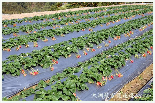 090117_01_採草莓