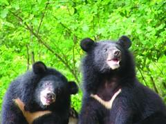 台灣黑熊照片原圖