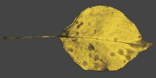 vein structure, Bradford pear leaf, color removed