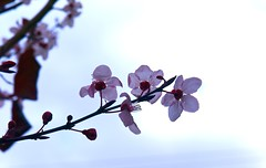 At Last! (vajra) Tags: pink flowers flower plumblossoms
