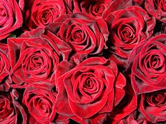 [フリー画像] [花/フラワー] [薔薇/バラ] [赤色/レッド] [レッド/花]       [フリー素材]