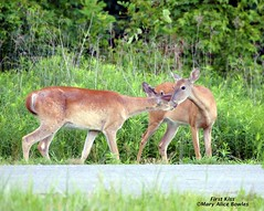 Happy Love Day (Mary Alice Bowles) Tags: from county white scott happy day alice wildlife mary indiana deer valentines seymour tailed bowles refuge muscatatuck