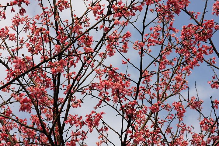 三芝櫻花61