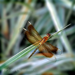 Dragonfly, dragonfly can you not stay awhile? (Ingrid Douglas Images - ART in Photography) Tags: bravo searchthebest dragonfly australia insects cairns 365project canoneos5dmarkii themacrogroup tropicalfauna perfectoarts ingridinoz