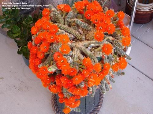 أنواع نبات الصبار تصنيف نبات الصبار أزهار نبات الصبار