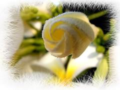 macro home dof plumeria australia frame frangipani apocynaceae plumeriaobtusa