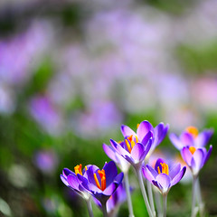 A huge wake-up-yawn was heard across Crocusland... & when everyone opened their eyes they saw the first rays of sunshine and felt the gentle breeze of Spring!!! (.I Travel East.) Tags: orange sunlight flower macro green sunshine square spring nikon dof purple bokeh availablelight details violet clarity maryland crocus bloom nikkor breeze cgb squarecrop wheaton brooksidegardens vividcolors nikkor105mmf28vr d700 wheatonmaryland nikond700 itraveleast ahugewakeupyawnwasheardacrosscrocuskingdomwheneveryoneopenedtheireyestheysawthefirstraysofsunshineandthegentlebreezeofspring anexhilaratingfeeling exploremarch112009 gentlebreezeofspring