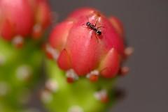 ant on cactus (nikonman64) Tags: fuji micro 6028 s5pro afdf5