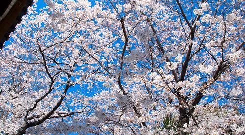 More Sakura 02