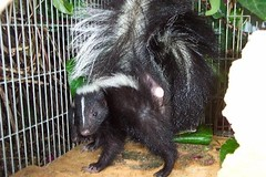 Striped skunk poised to spray me, Mary Cummins (Mary Cummins) Tags: wildliferehabilitation animaladvocates marycummins california fishandgame fishgame department fish game licensed permitted wildliferehabber wildliferehabilitator wwwanimaladvocatesus wildlife rescue ill injured orphaned baby babies losangeles californiadepartmentoffishgame californiadepartmentoffishandgame marykcummins marycumminscobb marycobb cumminsrealestateservices marycumminscom animaladvocatesus appraiser appraisal broker wild animal