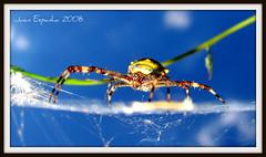 Silver argiope, Argiope argentata (Juanexpert_) Tags: spider juan arthropoda arachnida argiope aranha araneae aracnídeos artrópodes araneidae silverargiope argiopeargentata aranhadeprata aranhadosjardins juanespanha juanexpert araneaargentata araneamammeata araneamammata epeiramammata argyopesargentatus argyopesfenestrinus epeiraargentata epeiraamictoria plectanasloanii epeiragracilis argiopecarinata acrosomasloanii argyopesmaronicus argyopessubtilis argyopeshirtus argiopewaughi araneusgracilis micrathenasloanei argiopesubmaronica geapanamensis micrathenasloani argiopecoyunii argiopefiliargentata argiopefilinfracta singagracilis araneagracilenta argiopeindistincta argiopehirta juanespanhamoreiradias