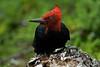 Carpintero Negro (Macho) (ik_kil) Tags: chile patagonia birds torresdelpaine carpintero avesdechile campephilusmagellanicus magellanicwoodpecker regionmagallanes carpinteronegro
