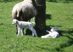 Newborns... (*Maaike*) Tags: trees green spring blossom meadow lambs durgerdam holysloot broekinwaterland