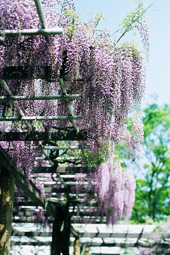 wistaria trellis