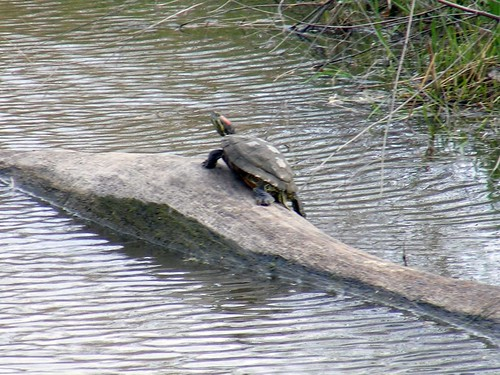 Painted Turtle Maumee Bay